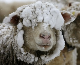 sheep-in-snow18