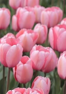 voorjaar_2019_tulpen_804